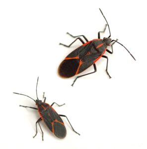 Boxelder Beetles